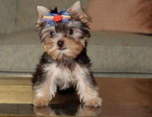 GREAT SELECTION OF ADORABLE YORKSHIRE TERRIER PUPPIES FOR ADOPTION!