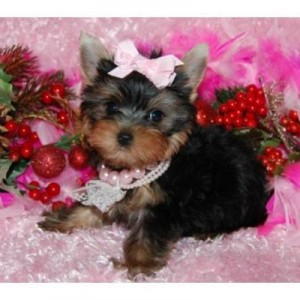 Free To Good Homes Akc Reg Teacup Yorkie Puppies Louisville Ky
