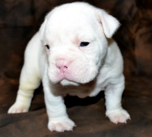 PURE WHITE, AND BROWN ENGLISH BULLDOG PUPPIES FOR HOME ADOPTION ...