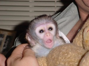 sweet baby capuchin monkey for a new home