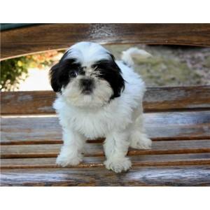 Puppies For Sale Shih Tzu Male Wheeling Wv Asnclassifieds