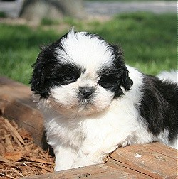 Potty Trained Teacup Shih Tzu Puppies Male And Female Akc