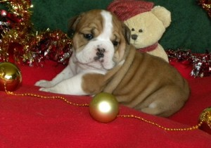 perfect English Bulldog Puppies for Sale - North Myrtle