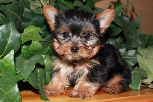 Top quality yorkie puppies for free adoption - Richmond, KY