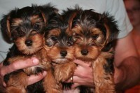 Potty Trained Teacup Yorkie Puppies Available For Adoption - Lincoln