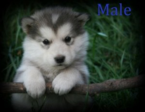 How to house train a malamute puppy