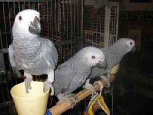 Loving Congo African Grey parrots for perfect homes