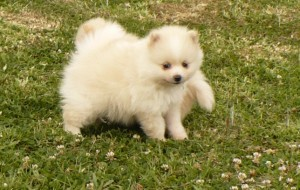 Nice Pomeranian Puppies Free To Good Homes North Myrtle Beach Sc
