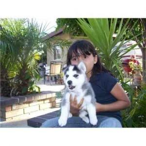 Cute Siberian Husky Dogs For Adoption Yakima Wa Asnclassifieds