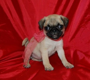 both sex pug puppies for sale