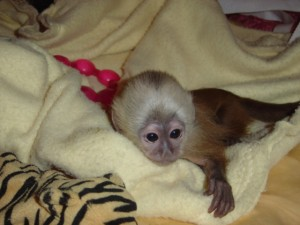 cute loving and adorable baby capuchin monkey for adoption