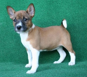 Home And Potty Trained Basenji Puppies Fresno Ca Asnclassifieds