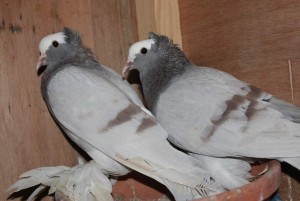 Different breeds of fancy pigeons for sale