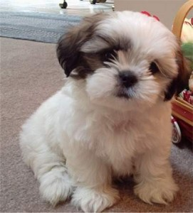 Honorable Shih Tzu Puppies For Sale To Any Who Has Been Dreaming To