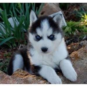 cute siberian husky puppies for free adoption - North