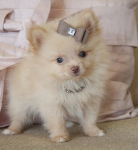 Avoid scams by dealing locally  Always exchange items and money in    Teacup Pomeranian Brown
