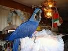Charming pair of Hyacinth Macaw Parrots for sale
