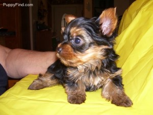 Good Looking Yorkie Puppies Roswell Nm Asnclassifieds