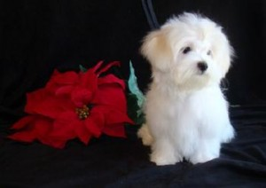 JOVIAL WHITE TEACUP MALTESE PUPPY FOR RE HOMING