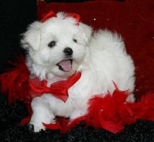 nice looking and healthy maltese puppies all ready now for your home