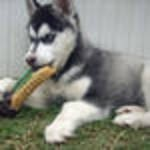 AKC SIBERIAN HUSKY PUPPIES FOR ADOPTION