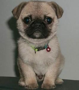 AKC Pug Puppies (Past Puppy)