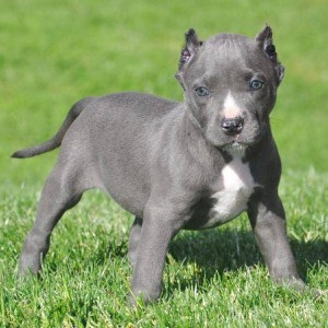 Dogs Jacksonville Fl Free Classified Ads