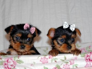 Adorable Teacup Yorkie Puppies For Adoption Contact Us