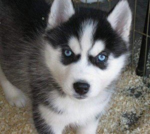 Teacup Pomeranian Husky Puppies For Sale Images Pictures