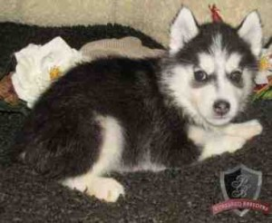 Affectionate Blue Eyes Siberian Husky Puppies Ready Now To Go
