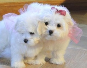 CHARMING AND AMAZING CHRISTMAS MALTESE PUPPIES FOR NEW FAMILY HOME ADOPTION text us at (347) 921-0128