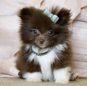 Tiny Teacup Pomeranian Puppies For Sale Eastpointe Mi