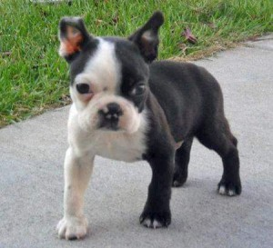 Beautiful Boston Terrier Puppies Bay City Mi Asnclassifieds
