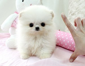 Gorgeous Male And Female Teacup Pomeranian Puppies Hoover Al