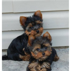 Tiny And Cute Yorkie Puppies For Adoption Charleston Sc