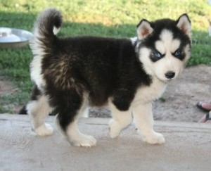 black and white husky with blue eyes