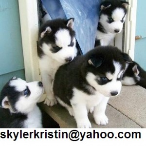 Siberian husky puppies now ready for home sale