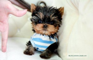 Super Teacup Yorkie Puppies For Adoption Annapolis Md