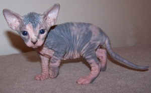 Extra Charming Sphynx Kittens Available For Sale