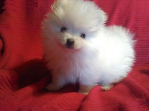 Pomeranian white full grown - photo#24