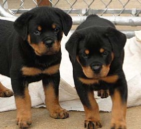 Rottweiler puppies available for new home  - Iowa City, IA