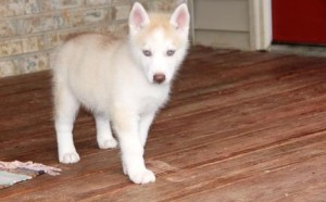 Healthy Blue Eyes Siberian Husky Puppies For Sale