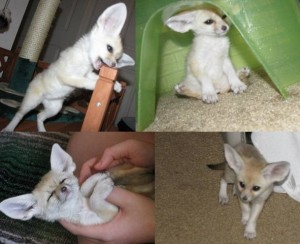 Fennec fox for rehoming. text (702) 530-9917 or email