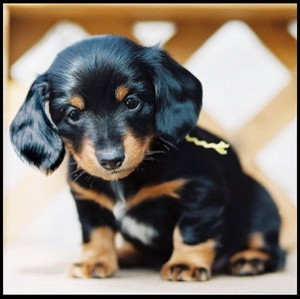 Healthy Well Trianed Dachshund Puppies For Free Adoption