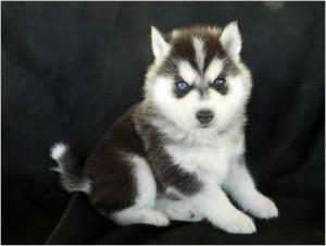 What An Adorable Siberian Husky Wolf Hybrid Puppies Johnston Ia