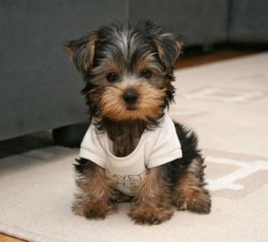 Tiny Teacup Puppies Yorkiefor Adoption Des Moines Ia