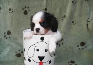 Calvin Male Morkie Puppy Ready Now!!! - Douglasville, GA