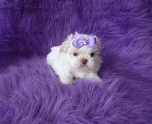 Harley Male Shih Tzu Puppy Ready Now Decatur Ga Asnclassifieds