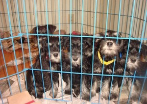 CUTE AND LOVELY SCHNAUZER PUPPIES FOR GOOD AND LOVELY FAMILIES