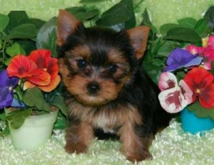 fluffy Male and Female pups yorkie - text (256) 369-3813